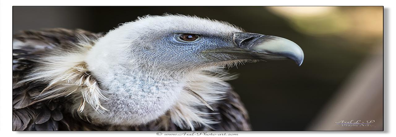 Aigle Vautour-fauve-1200